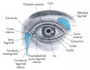 anatomía_ojo_04